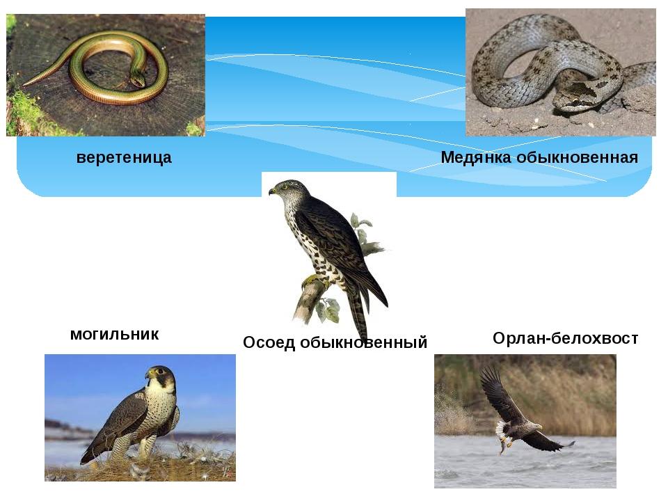 веретеница Медянка обыкновенная могильник Осоед обыкновенный Орлан-белохвост