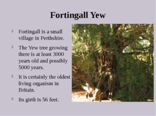 Fortingall Yew Fortingall is a small village in Perthshire. The Yew tree grow