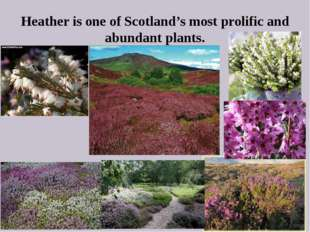Heather is one of Scotland's most prolific and abundant plants.