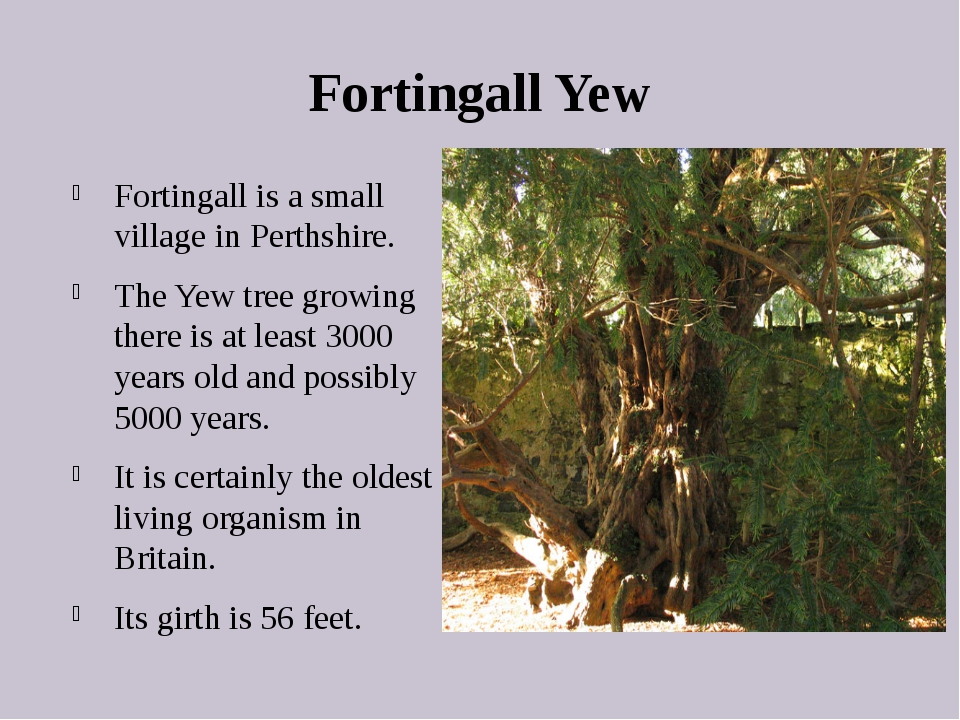 Fortingall Yew Fortingall is a small village in Perthshire. The Yew tree grow...