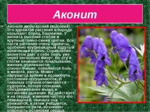 Аконит Аконит джунгарский (высокий). Это ядовитое растение в народе называют