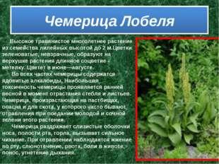 Высокое травянистое многолетнее растение из семейства лилейных высотой д