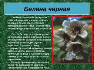 Белена черная  Цветки собраны на верхушках стеблей, крупные и имеют гряз