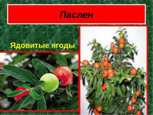 Паслен Ядовитые ягоды