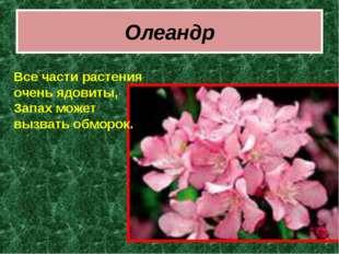 Олеандр Все части растения очень ядовиты, Запах может вызвать обморок.
