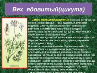 Вех ядовитый(цикута)  Самое ядовитое растение, которое встречается в зоне