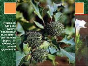 Дурман вонючий Дурман обыкновенный привлекателен для ребенка своими семенами.