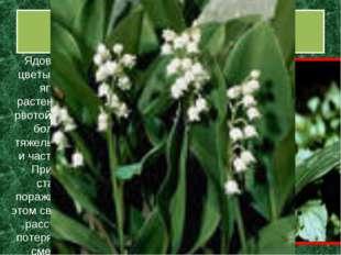 Ландыш майский Ядовиты все его части - листья, цветы, плоды – красно-оранжева