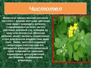 Чистотел Известное лекарственное растение чистотел с яркими желтыми цветками