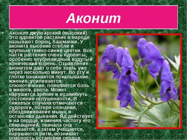 Аконит Аконит джунгарский (высокий). Это ядовитое растение в народе называют...