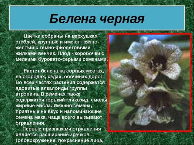 Белена черная  Цветки собраны на верхушках стеблей, крупные и имеют гряз...