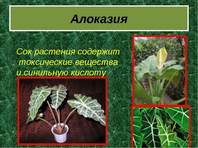 Алоказия Сок растения содержит токсические вещества и синильную кислоту