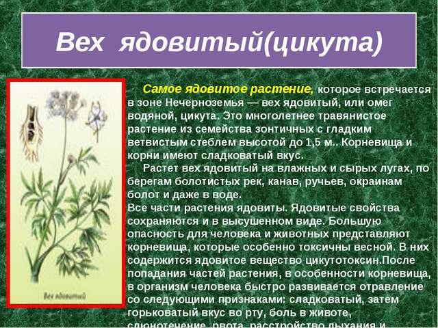 Вех ядовитый(цикута)  Самое ядовитое растение, которое встречается в зоне...