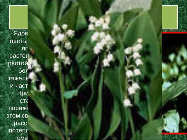Ландыш майский Ядовиты все его части - листья, цветы, плоды – красно-оранжева...