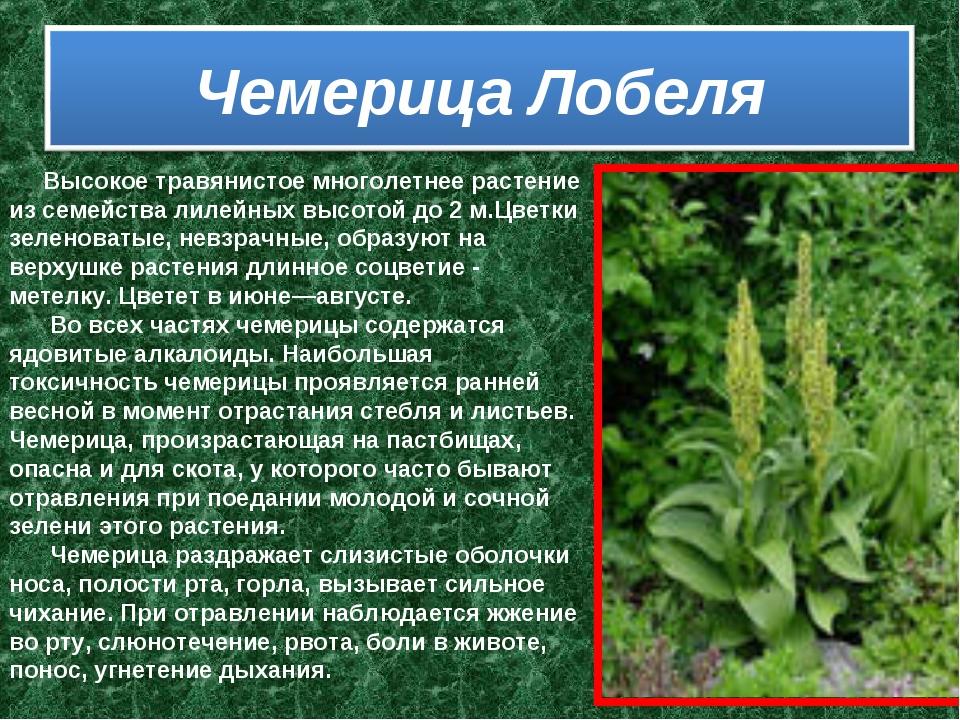 Высокое травянистое многолетнее растение из семейства лилейных высотой д...