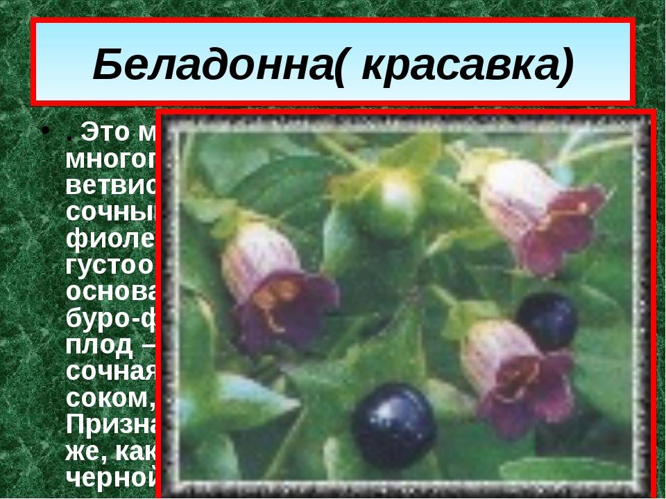 Беладонна( красавка) . Это многолетнее растение с многоглавым корневищем и кр...