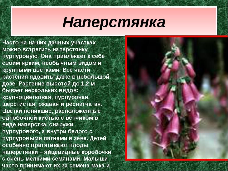 Наперстянка Часто на наших дачных участках можно встретить наперстянку пурпур...