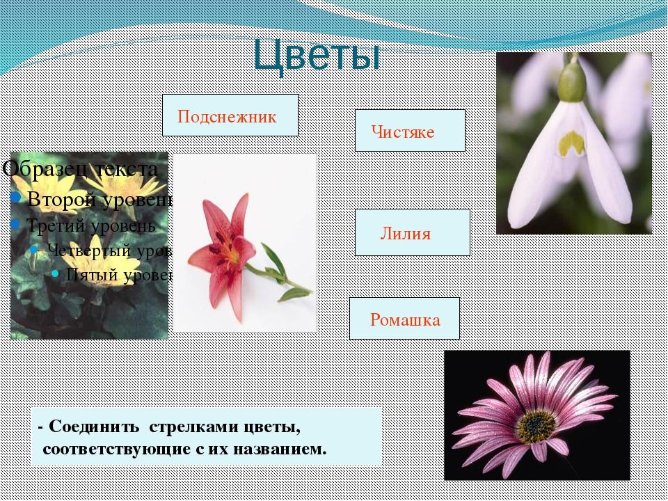 Цветы - Соединить стрелками цветы, соответствующие с их названием. Подснежни...