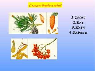 С какого дерева плоды? 1. 1. 2. 3. 4. 1.Сосна 2.Ель 3.Клён 4.Рябина
