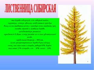 -это дерево сибирской, или северной тайги. -короткие, мягкие хвоинки появляют