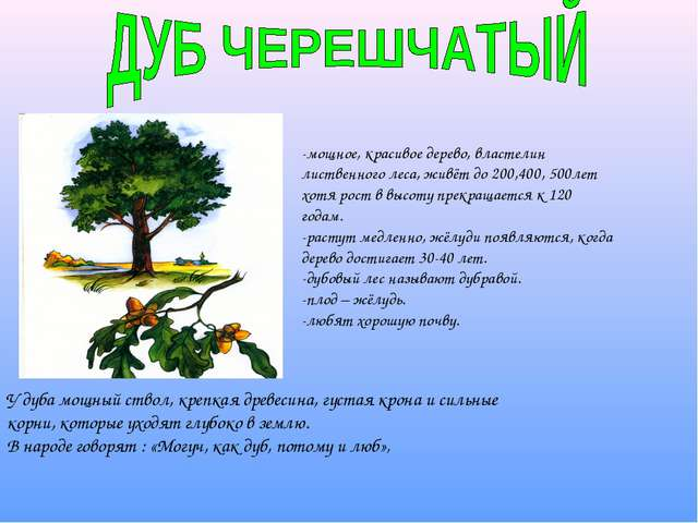 -мощное, красивое дерево, властелин лиственного леса, живёт до 200,400, 500ле...
