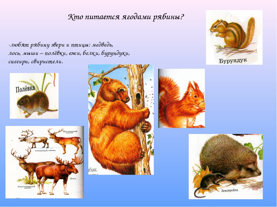 -любят рябину звери и птицы: медведь, лось, мыши – полёвки, ежи, белки, бурун...