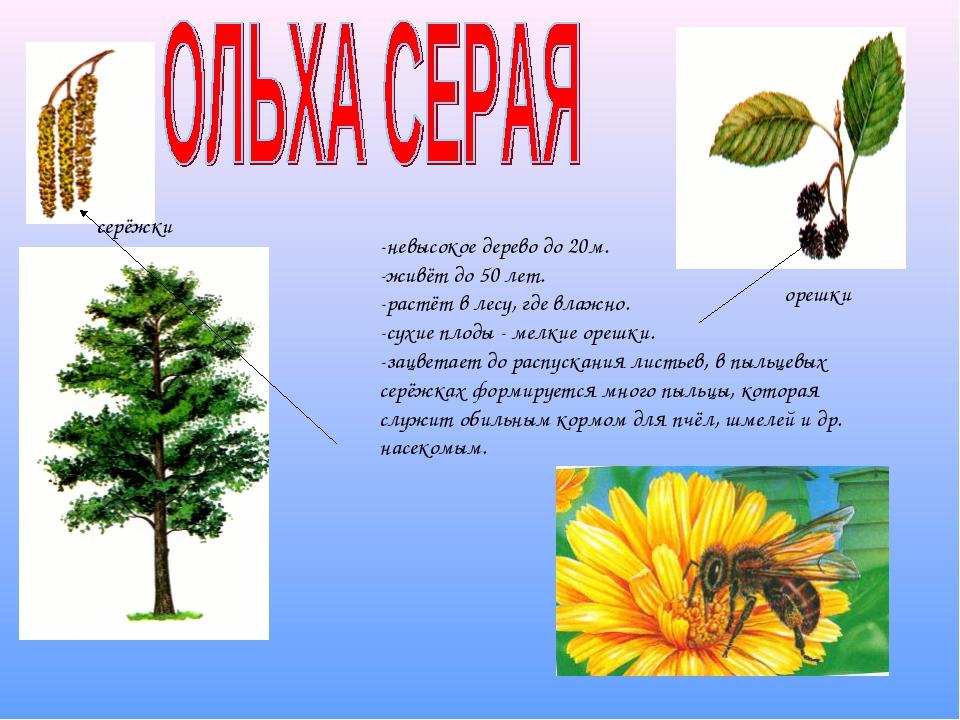 -невысокое дерево до 20м. -живёт до 50 лет. -растёт в лесу, где влажно. -сухи...