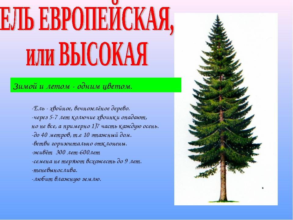 Зимой и летом - одним цветом. -Ель - хвойное, вечнозелёное дерево. -через 5-7...
