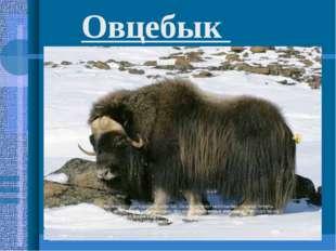 Овцебык животное с крепкими рогами и длинной шерстью. Овцебыки живут небольши