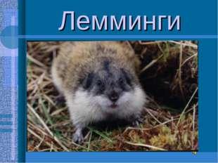 Лемминги Лемминги(северные пеструшки)-небольшие мышевидные грызуны Питаются п