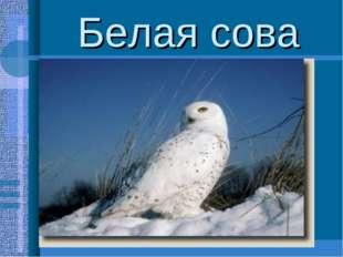 Белая сова Довольно крупные птицы(размах крыльев до 1,5м.,масса-2,5кг.) Присп