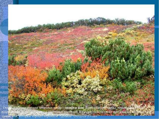Главные представители типичных тундр – осоки и мхи. В них обитают грибы, лиш...