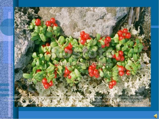 В короткие месяцы лета тундра превращается в цветочный и ягодный сад. Она пес...