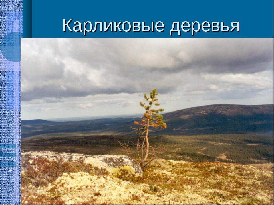 Карликовые деревья Часто кустарники и кустарнички прячутся в толще мхов и лиш...