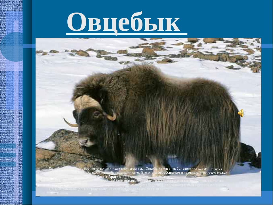 Овцебык животное с крепкими рогами и длинной шерстью. Овцебыки живут небольши...