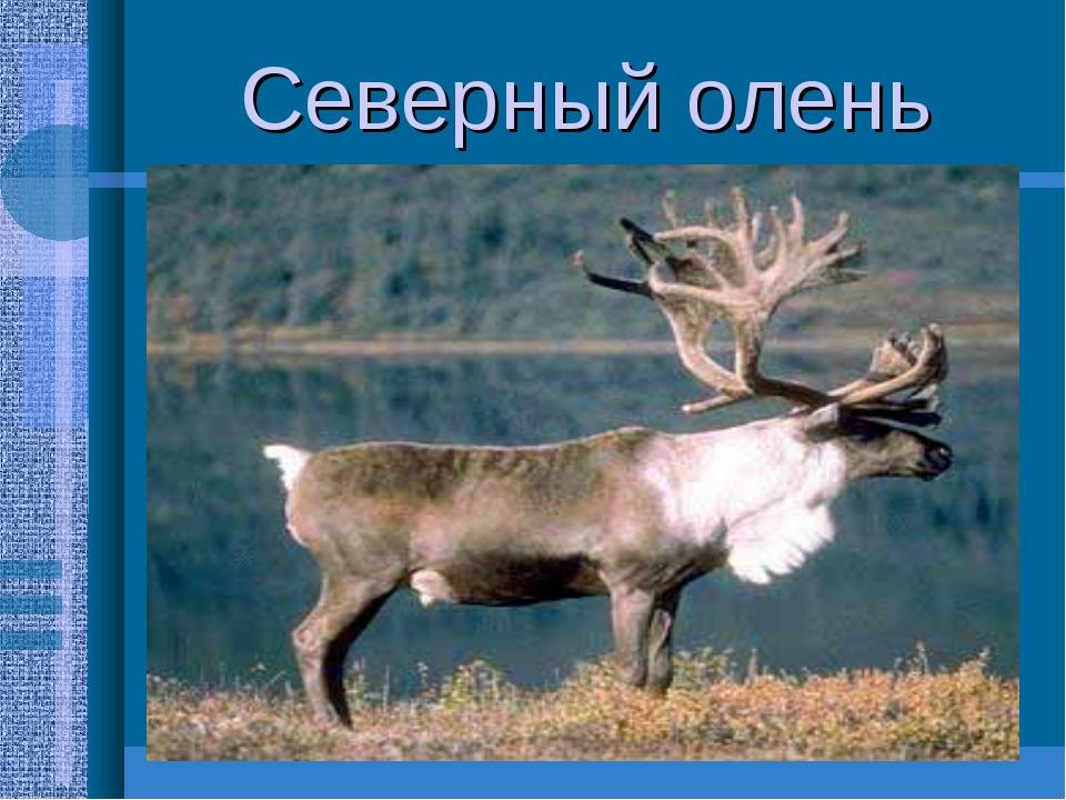 Северный олень Насчитывается 600тысяч тундровых оленей Питаются грибами,трава...