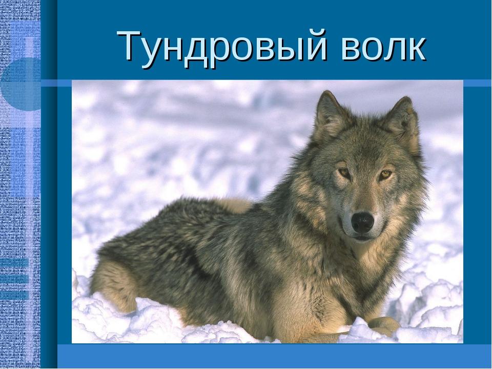 Тундровый волк Крупный хищник(длина160см,масса 80кг.) Окраска шерсти светлая,...