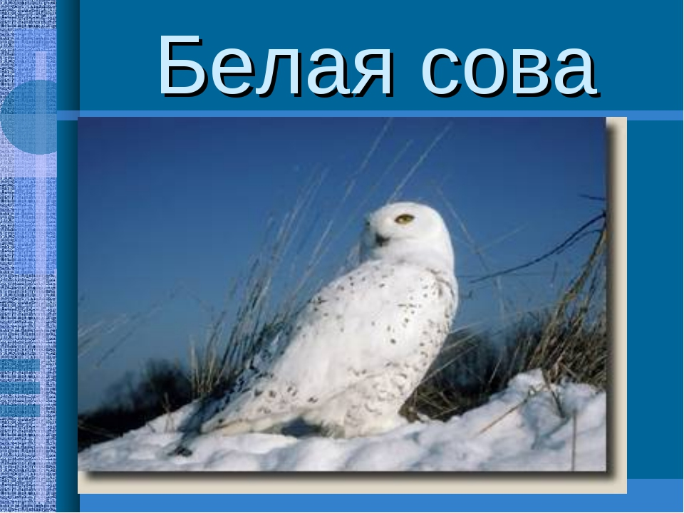 Белая сова Довольно крупные птицы(размах крыльев до 1,5м.,масса-2,5кг.) Присп...