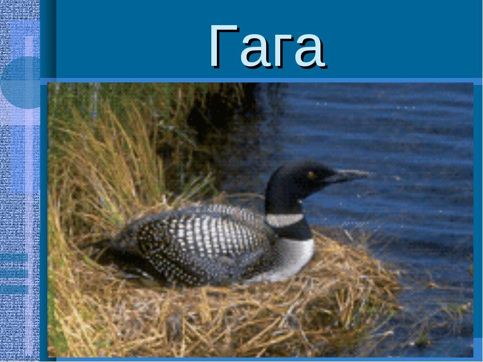 Гага Типичные морские птицы,массой до 2,5кг;на побережье северной тундры устр...