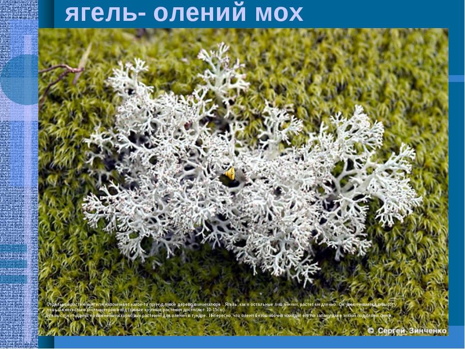 ягель- олений мох Отдельное растение ягеля напоминает какое-то причудливое де...
