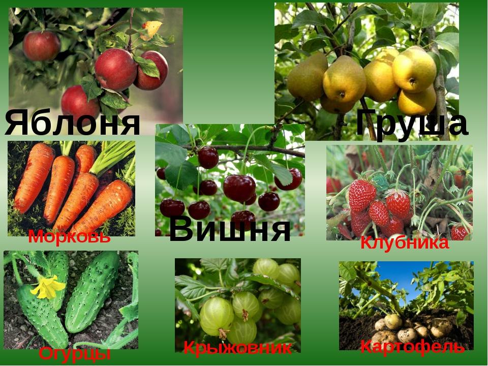 Яблоня Груша Вишня Морковь Огурцы Крыжовник Картофель Клубника