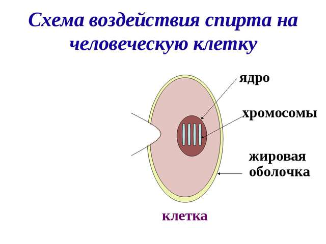 Схема воздействия спирта на человеческую клетку Молекула спирта клетка жиров...
