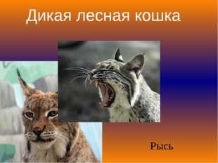 Дикая лесная кошка Рысь