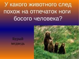 У какого животного след похож на отпечаток ноги босого человека? Бурый медведь