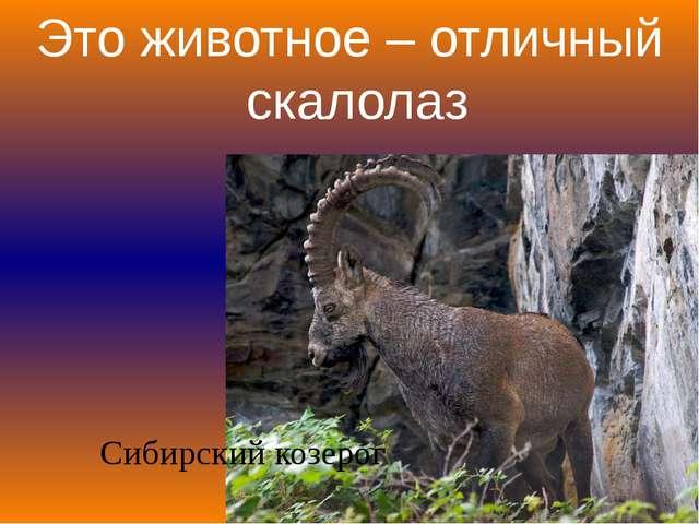 Это животное – отличный скалолаз Сибирский козерог