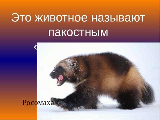 Это животное называют пакостным «медвежонком» Росомаха