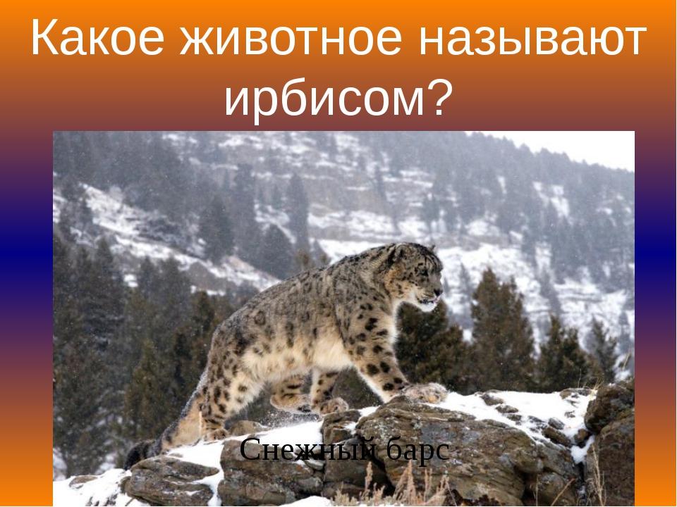 Какое животное называют ирбисом? Снежный барс