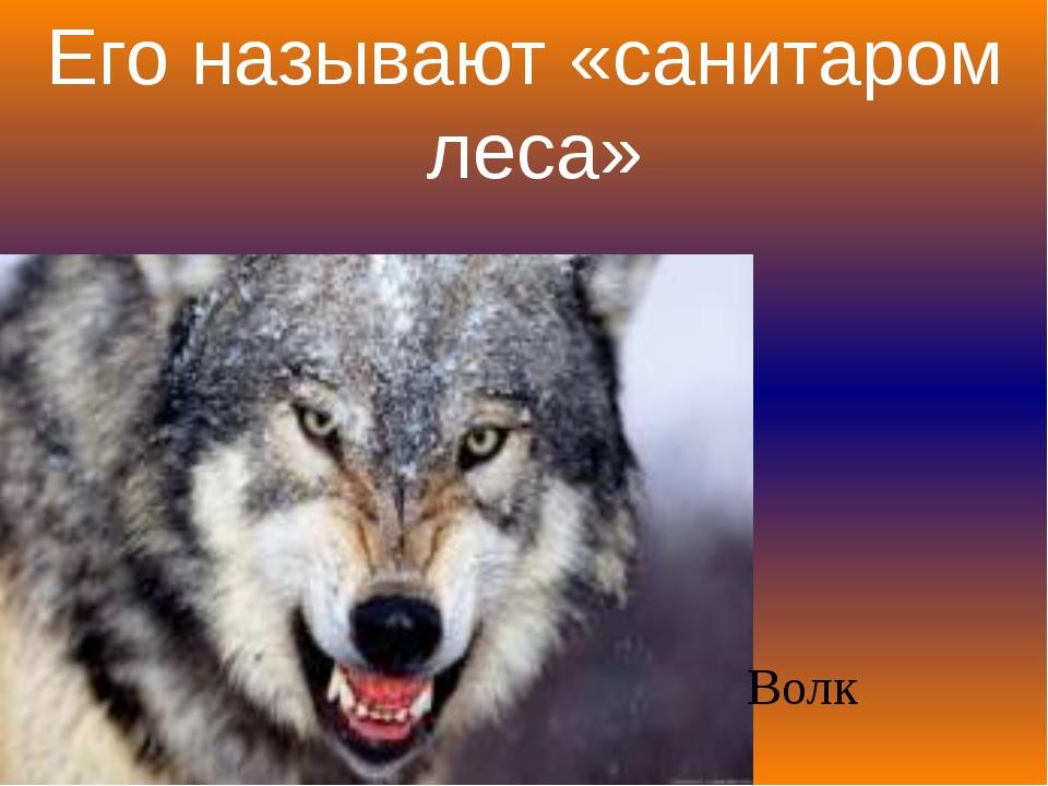 Его называют «санитаром леса» Волк
