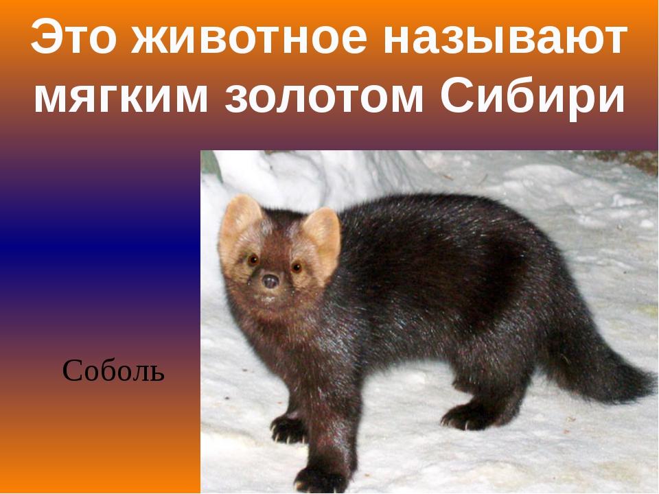 Это животное называют мягким золотом Сибири Соболь