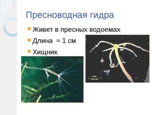 Пресноводная гидра Живет в пресных водоемах Длина ≈ 1 см Хищник